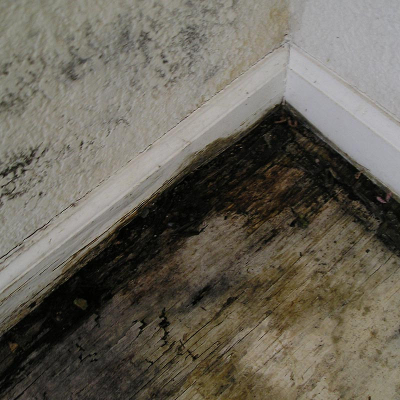 Black Mold Symptoms Test Removal Amp Health Effects