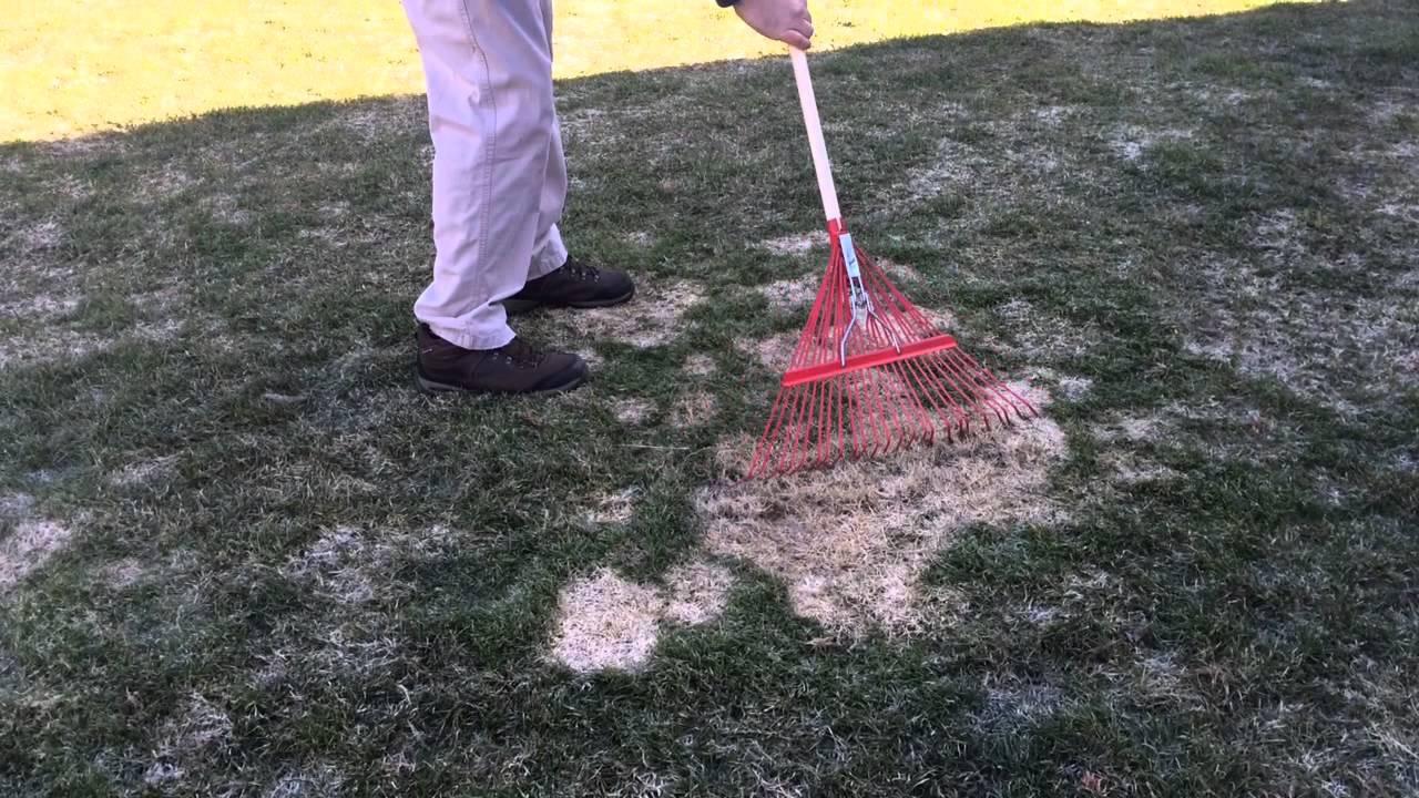 Hasil gambar untuk treatment rake snow mold