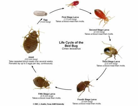 Baby Bed Bugs Pictures, Size and How to Identify Bites