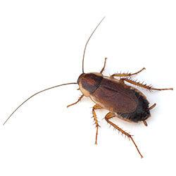 Female Pennsylvania Wood Cockroach closeup