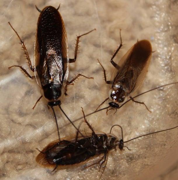 Pennsylvania wood cockroach beside Parcoblatta_divisa