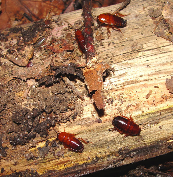 Pennsylvania Wood Cockroach | Project Noah