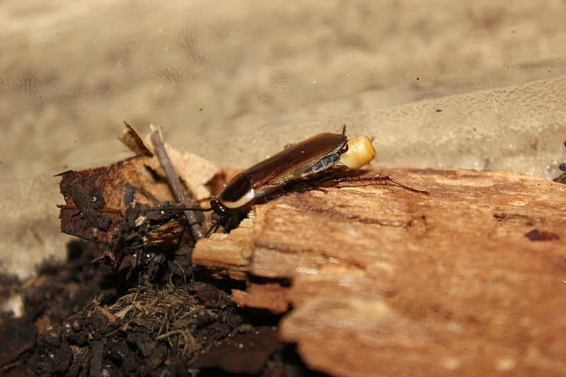 The Pennsylvania Wood Cockroach: Year-Round Solutions | Cockroach ...