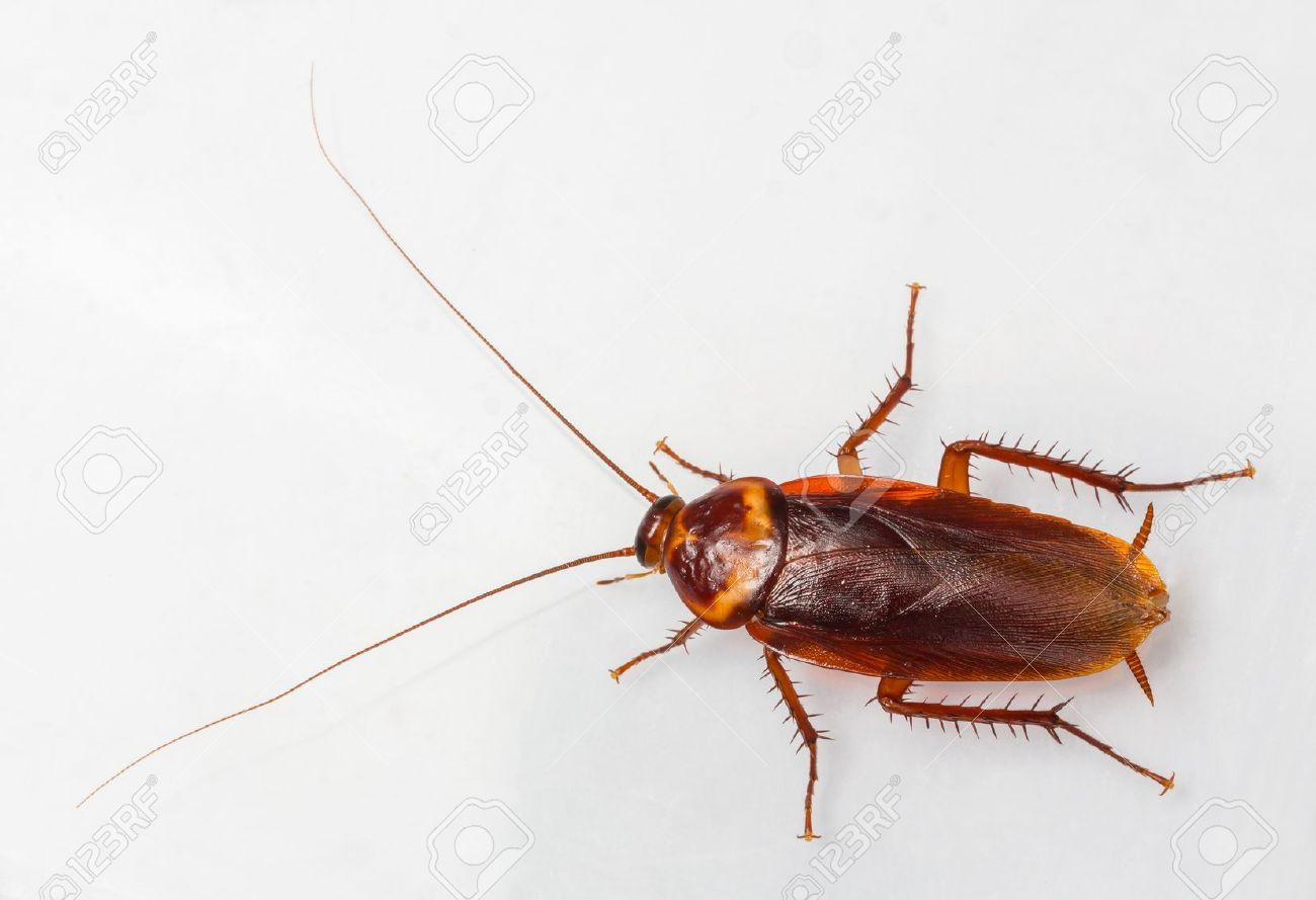 C:\Users\U s e r\Desktop\pics\american cockroach.jpg