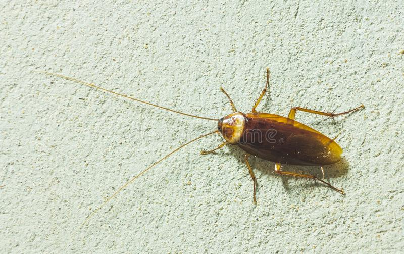 C:\Users\U s e r\Desktop\pics\Asian cockroach.jpg
