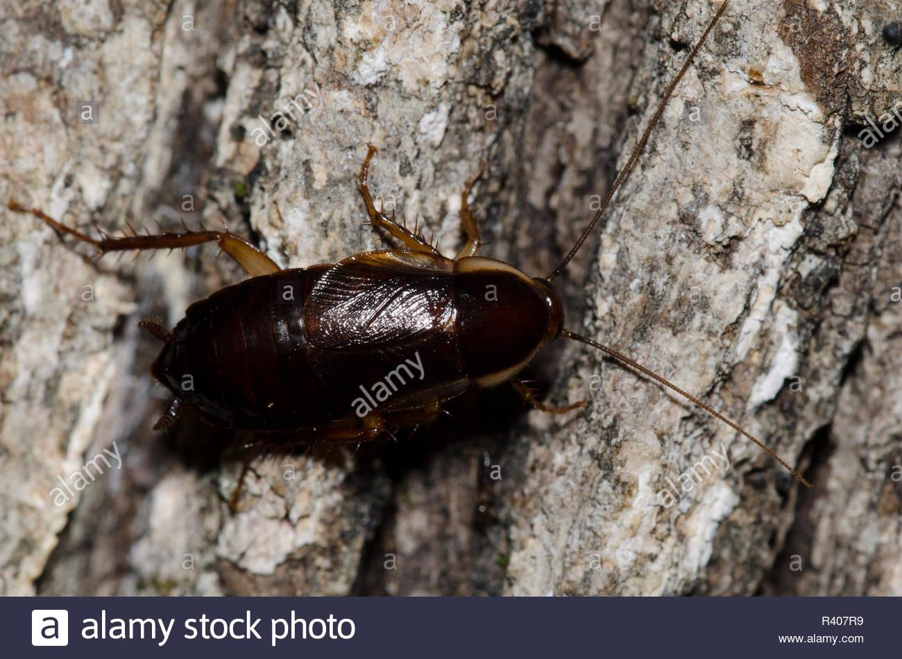 C:\Users\U s e r\Desktop\pics\pennsylvania wood cockroach.jpg