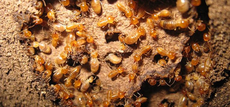 C:\Users\U s e r\Desktop\Pics\subterranean-termite-image.jpg